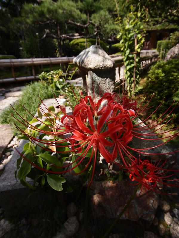 京都 大原 宝泉院 彼岸花
