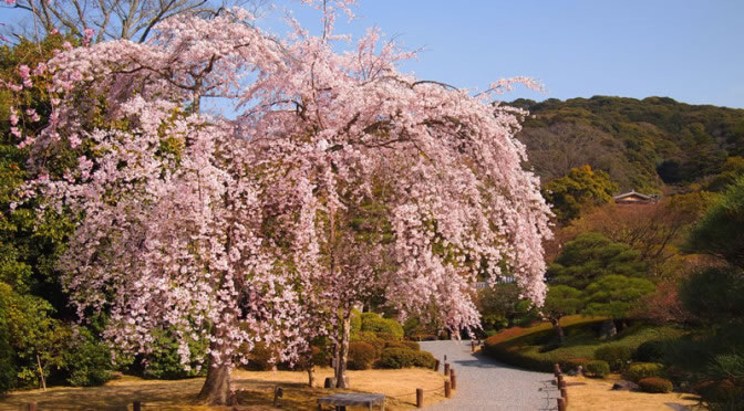 京都 知恩院の桜(Cherry blossoms of Chionin in Kyoto,Japan)