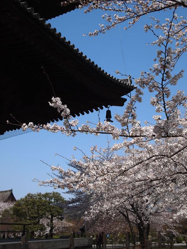 東寺 / 教王護国寺の不二桜
