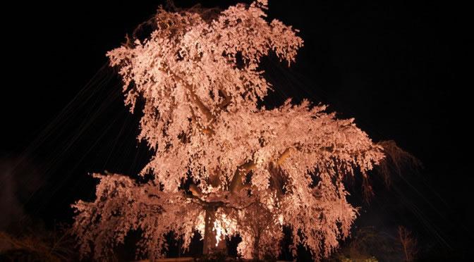 京都 円山公園の祇園夜桜(Cherry blossoms of Maruyama Park in Kyoto,Japan)