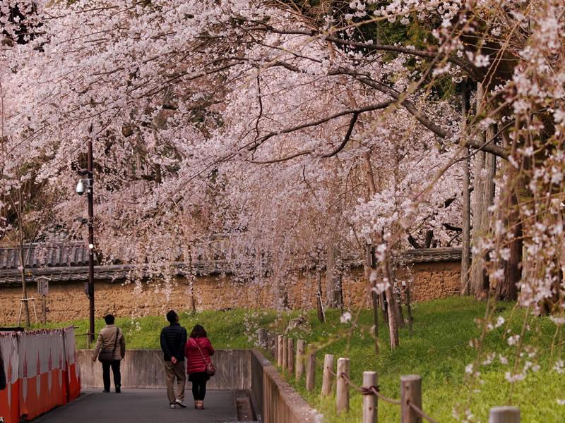 醍醐寺 霊宝館の桜
