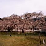 京都 醍醐寺 霊宝館の桜(Cherry blossoms of Reihokan Daigoji temple in Kyoto,Japan)