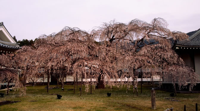 京都 醍醐寺 霊宝館の桜(Cherry blossoms of Reihokan Daigoji temple in Kyoto,Japan)