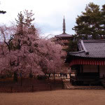京都 醍醐寺の桜(Cherry blossoms of Daigoji temple in Kyoto,Japan)