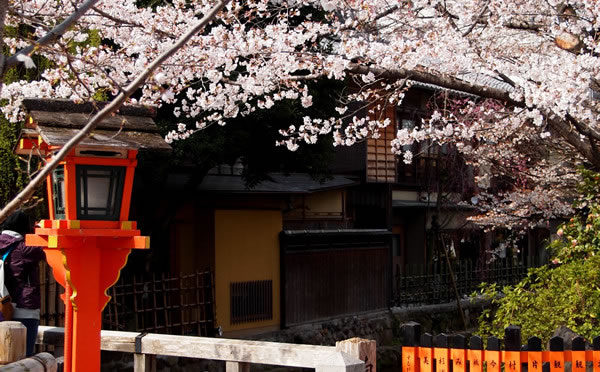 京都 祇園白川の桜(Cherry blossoms of Gion-shirakawa street in Kyoto,Japan)