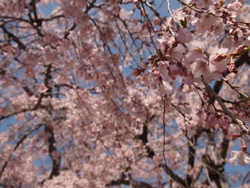 醍醐寺 三宝院の桜