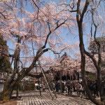 京都 醍醐寺 三宝院の桜(Cherry blossoms of Sanpoin Daigoji temple in Kyoto,Japan)