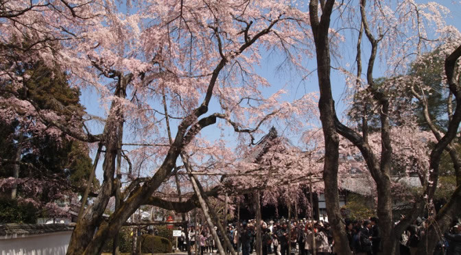 京都 醍醐寺 三宝院の桜(Cherry blossoms of Sanpoin Daigoji temple in Kyoto,Japan)