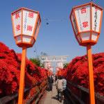 京都 長岡天満宮のキリシマツツジ(Nagaoka-tenmangu shrine in Kyoto,Japan)