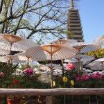京都 大慈山 乙訓寺の牡丹(Otokuni temple in Kyoto)