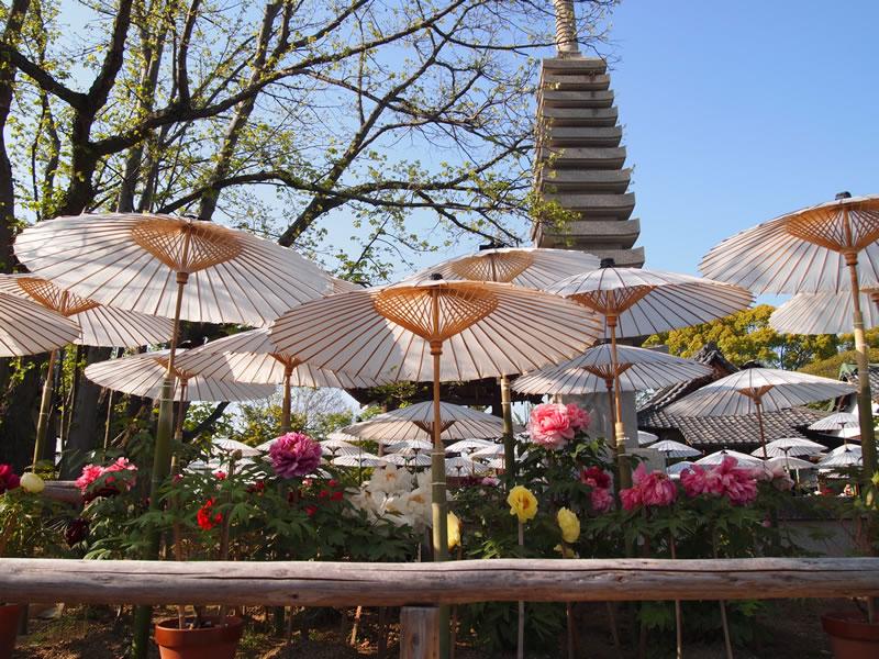 乙訓寺の牡丹