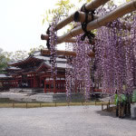 京都 宇治 平等院の藤棚(Wisteria trellis of Byodoin temple in kyoto,Japan)