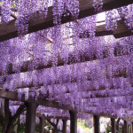 京都 鳥羽水環境保全センターの藤棚(Wisteria blooming in the Center for Environmental Protection of water)