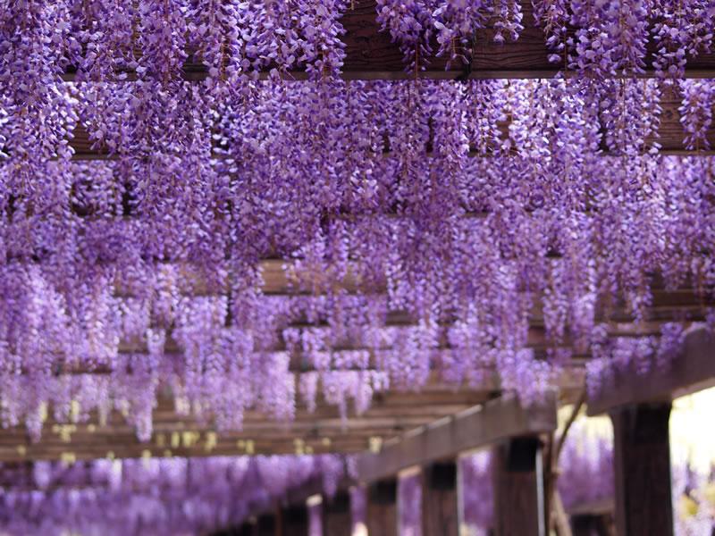 京都 鳥羽水環境保全センターの藤棚