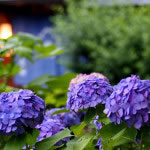 京都 祇園白川の紫陽花(Hydrangea of Gion-shirakawa street in Kyoto,Japan)