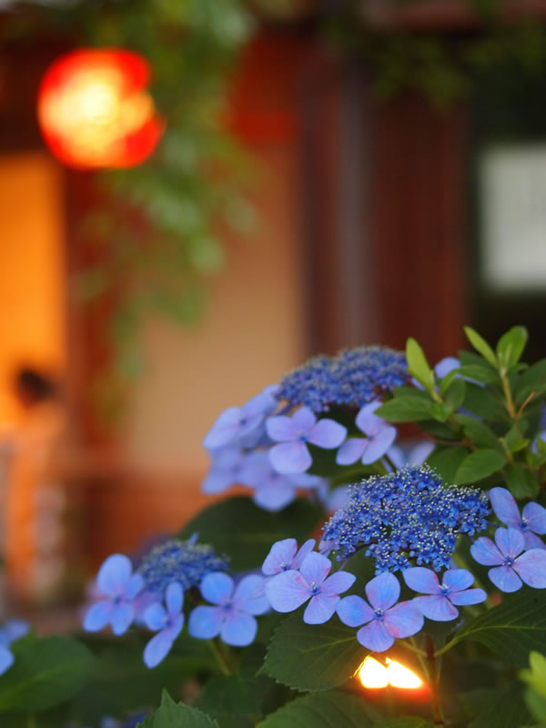 祇園白川の紫陽花