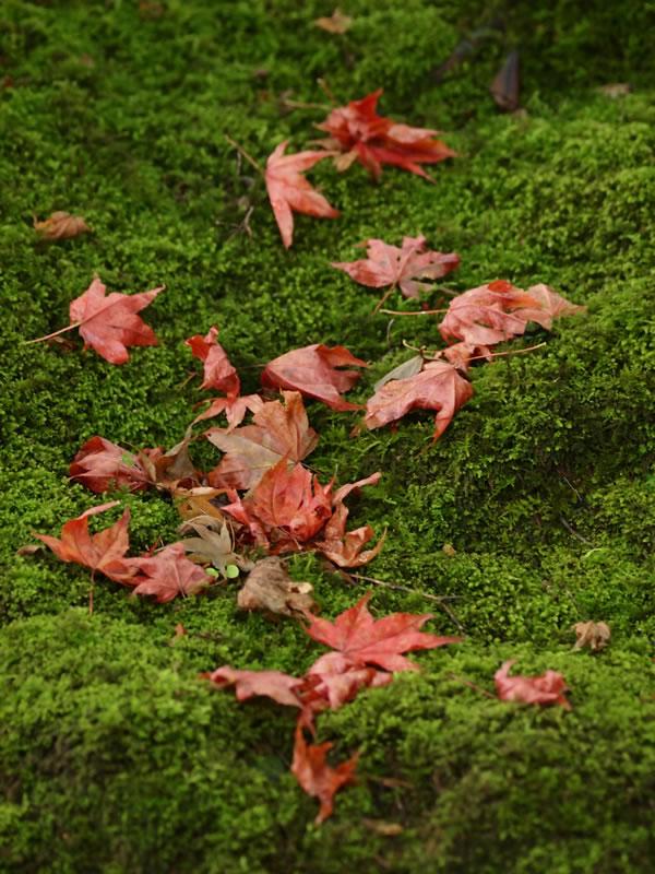 深緑の常寂光寺 苔 紅葉