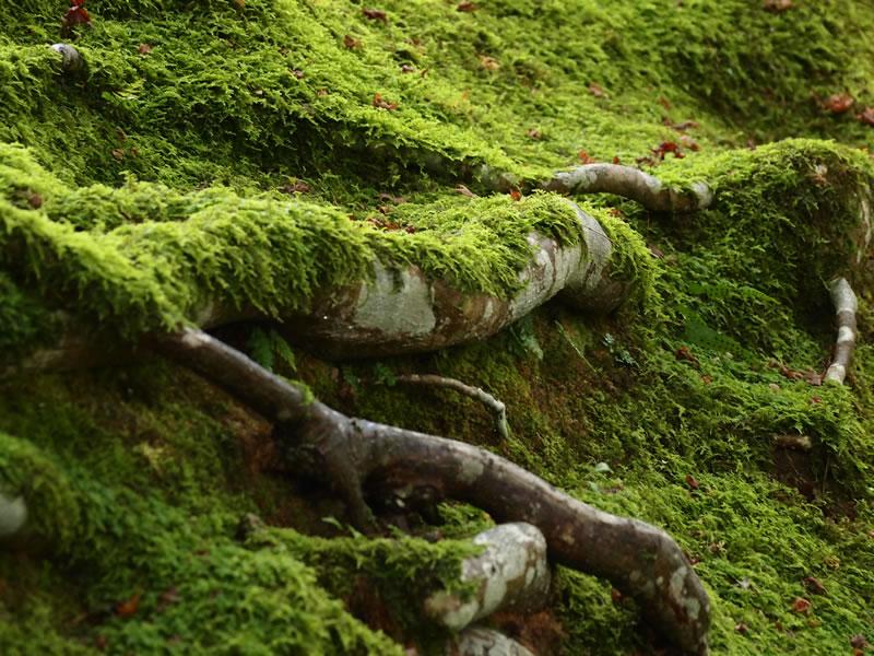 深緑の常寂光寺 苔