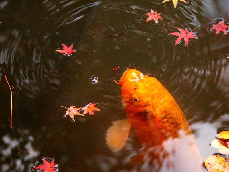 南禅寺 天授庵の紅葉