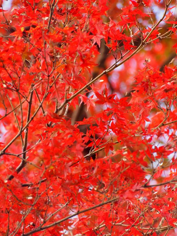 三千院門跡の紅葉