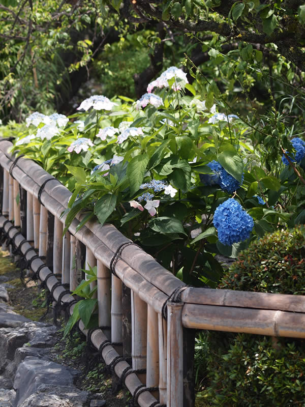 京都 祇園白川の紫陽花(Hydrangea of Gion Shirakawa street in kyoto,Japan)