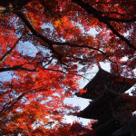 京都 真如堂 / 真正極楽寺の紅葉(Autumn leaves of Shinnyodo temple in Kyoto,Japan)