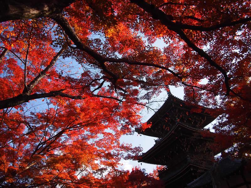 京都 真如堂 / 真正極楽寺の紅葉(Autumn leaves of Shinnyodo temple in Kyoto,Japan)