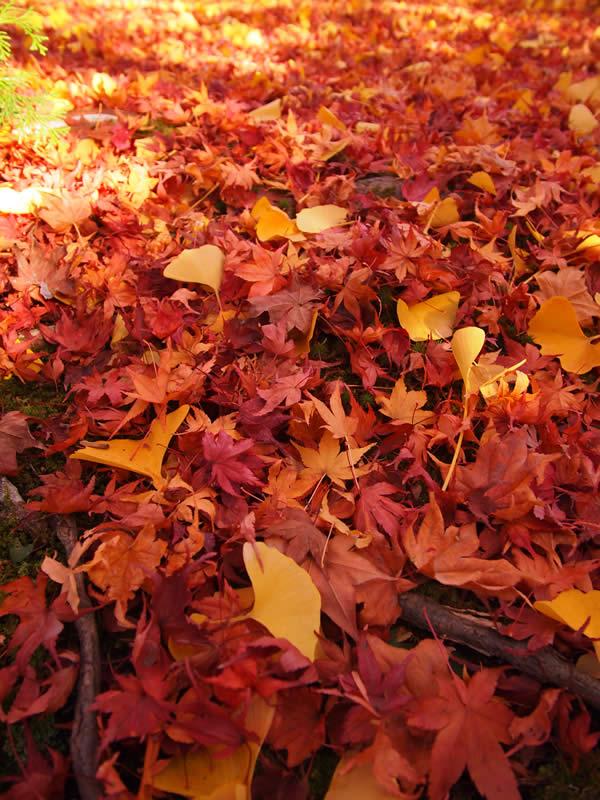 京都 嵯峨野 常寂光寺の紅葉(Autumn leaves of Jojakkoji temple in Kyoto,Japan)
