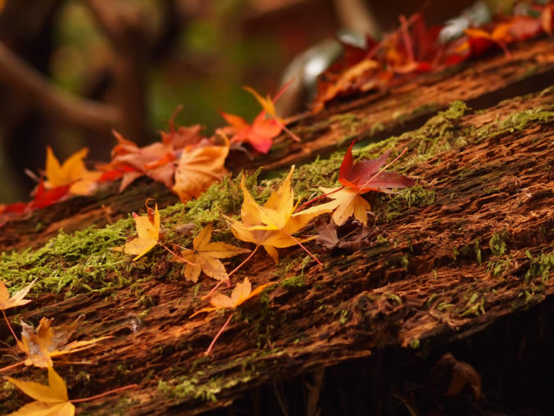 京都 祇王寺の紅葉(Autumn leaves of Giouji temple in Kyoto,Japan)